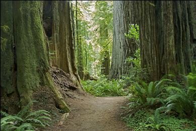 Grow GiANT REDWOODS in your backyard how bout iT! - whaT? ;{o